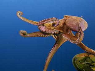 Untitled (Octopus)